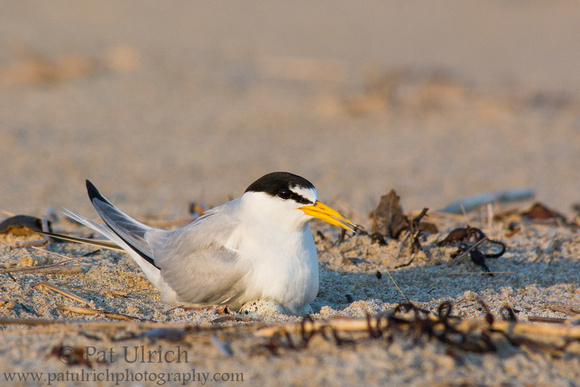 Photograph of a least tern incubating its eggs in a nest in the sand