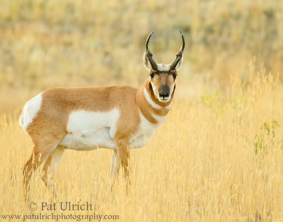Pronghorn standing in golden autumn grass in Yellowstone National Park