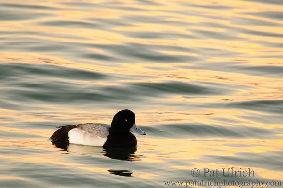 Scaup swimming across water reflecting the golden colors of sunset