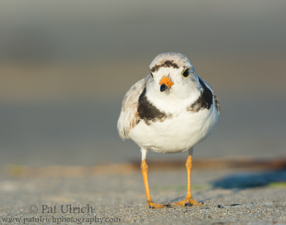 Curious piping plover at Sandy Point State Reservation, Massachusetts