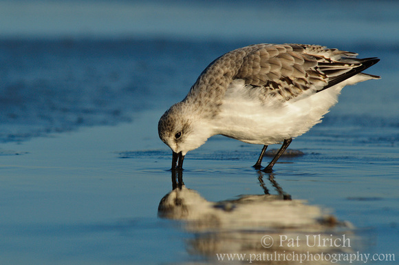 A sanderling is reflected in a tidal pool while feeding at sunset