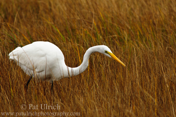 A great egret hunting in a salt marsh