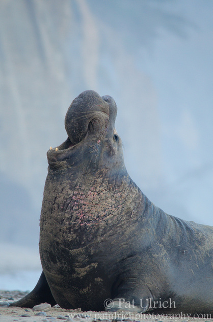A bull elephant seal bellowing