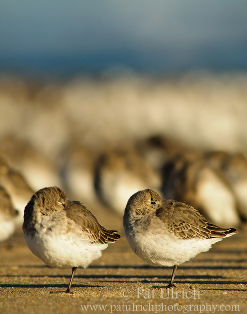 Dunlin resting on one leg in front of a flock of sandpipers