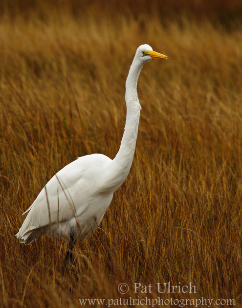 A great egret stands tall while stalking prey in a salt marsh