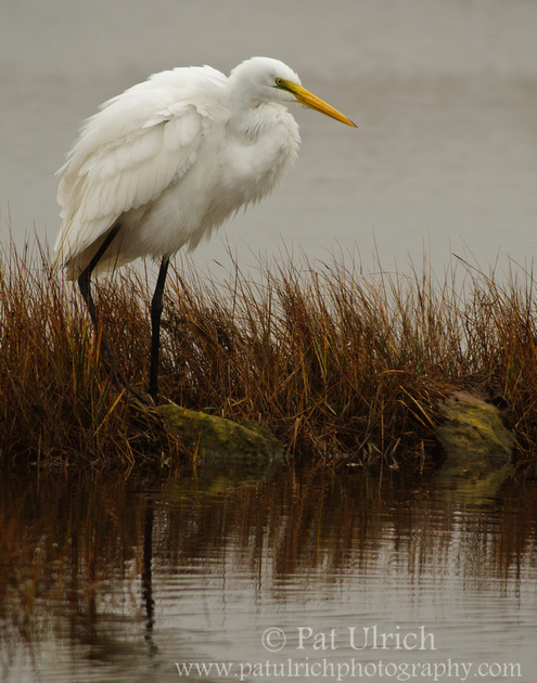 Photograph of a great egret in a salt marsh on a dreary day