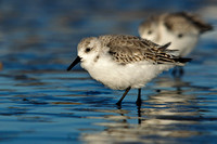 Sanderlings at sunrise, Parker River NWR