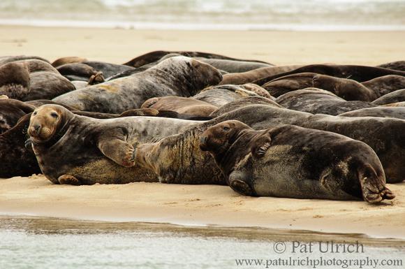 Photograph of gray seals resting on the beach near Truro in Cape Cod National Seashore