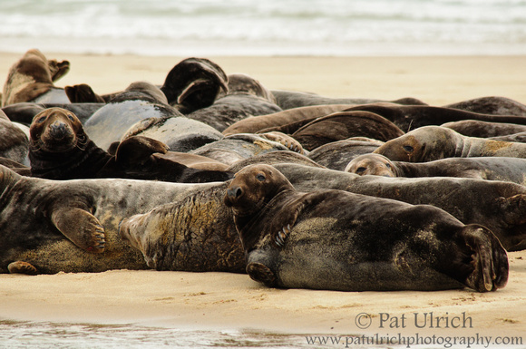 Photograph of a herd of gray seals on the beach at Cape Cod National Seashore