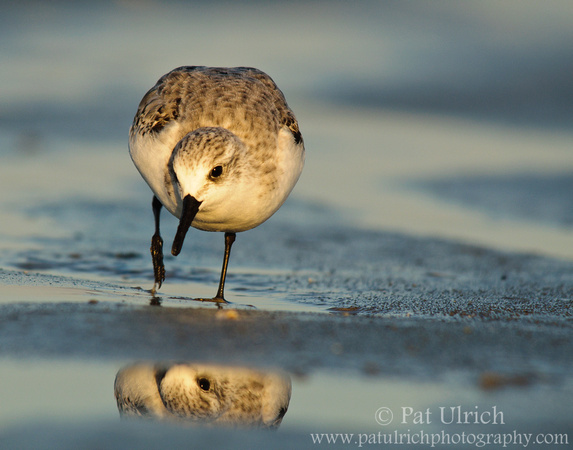 Photo of a sanderling reflected in the tidal flats
