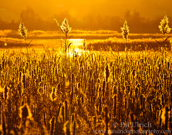 Golden back-lighting highlights cattails as the sun sets over a salt marsh