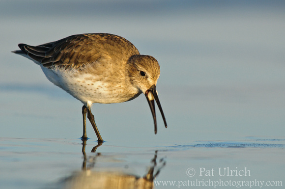 Dunlin swallowing a small clam whole