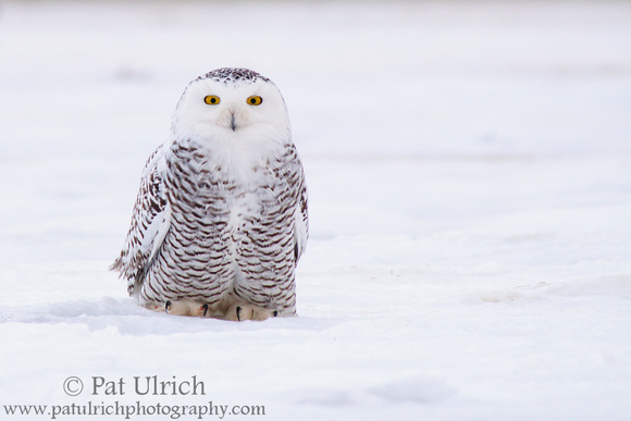 Juvenile snowy owl sitting on sea ice