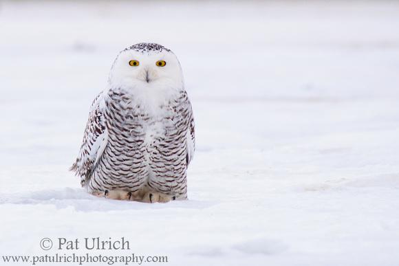 Juvenile snowy owl sitting on sea ice