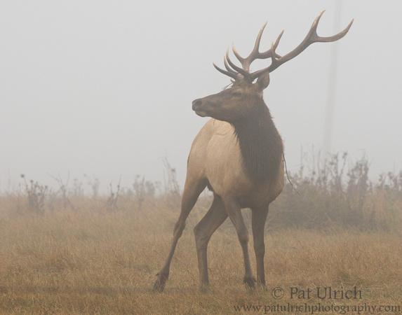 Tule elk with vine wrapped around antlers in Point Reyes National Seashore