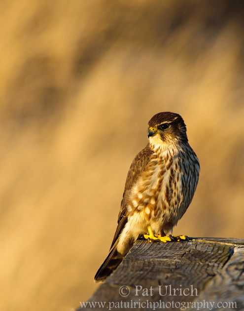 Portrait of a merlin sitting on a fence railing