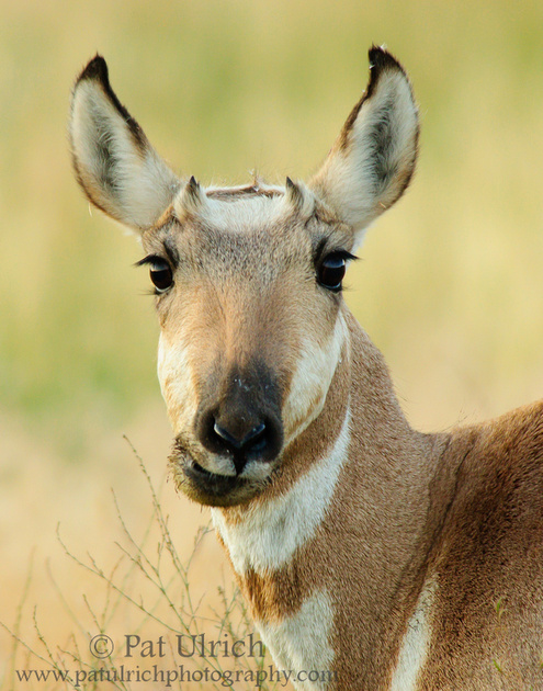 Portrait of a pronghorn in Yellowstone National Park in vertical orientation
