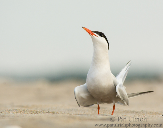 Common tern on the beach at Sandy Point State Reservation
