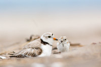 Piping plover chick returns to its parent