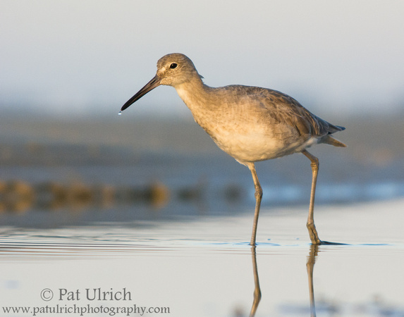 Photograph of a willet in a tidal pool at Bunche Beach Preserve