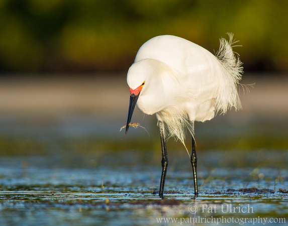 Snowy egret catches a shrimp in Florida