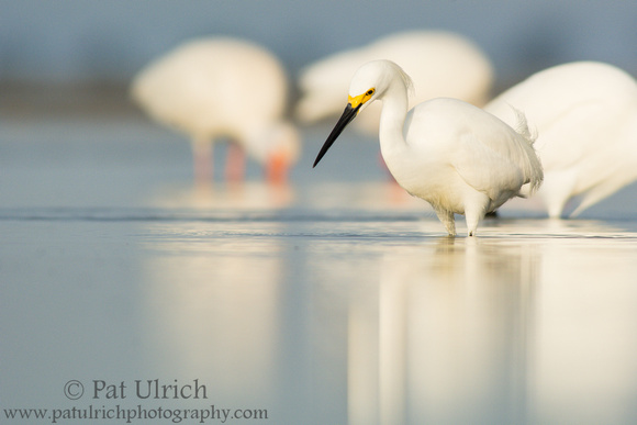 Photograph of a snowy egret hunting in a tidal pool in front of other white birds