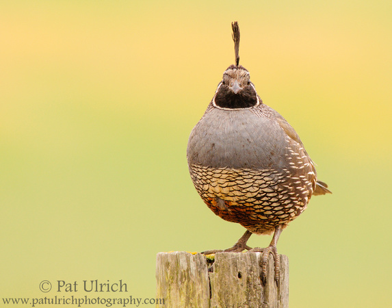 Quail stare down from fence post in Point Reyes National Seashore