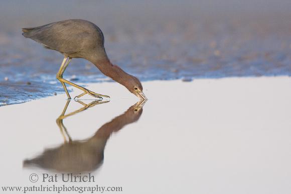Little blue heron looks like it's walking on water in southwest Florida