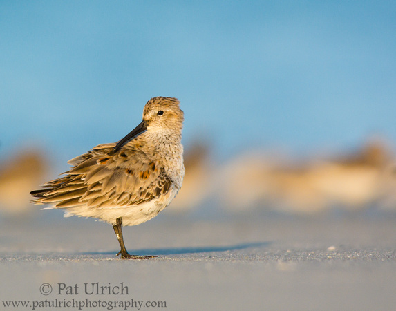 Dunlin preening at sunset on Plymouth Beach, Massachusetts