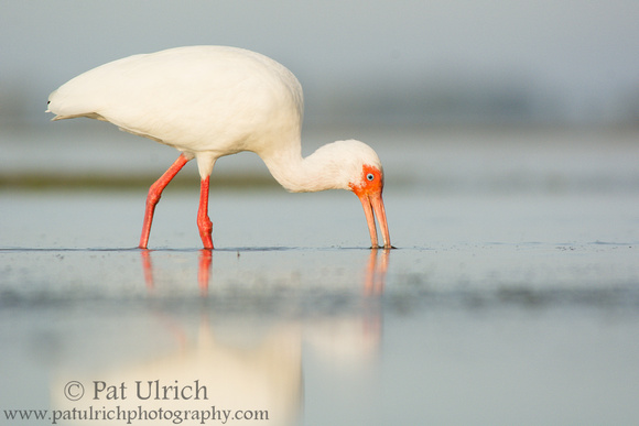 White ibis feeding in a tidal pool at Bunche Beach Preserve, Florida