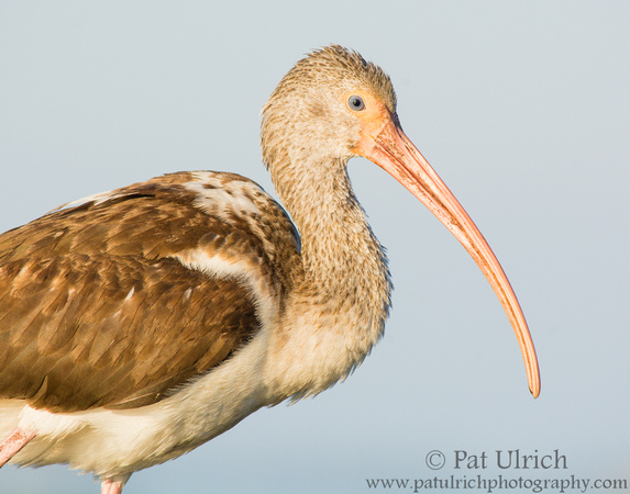 Photographic portrait of a juvenile white ibis in Florida
