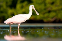 Spoonbill striding in front of mangroves