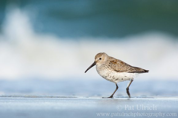 Dunlin running across the beach in front of a breaking wave at Plymouth Beach, Massachusetts