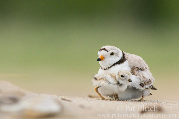 Photo of piping plover parent and chick in Massachusetts