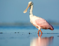 Juvenile roseate spoonbill with water droplet