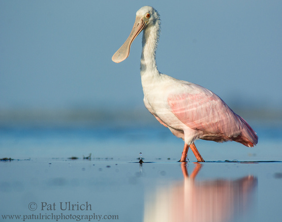 Juvenile roseate spoonbill with water droplet at Bunche Beach Preserve