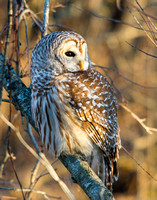 Barred owl in fading light