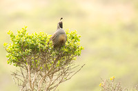 California quail calling across the valley