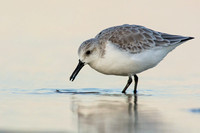Sanderling feeding in late evening light