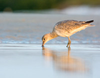 Willet probing the sand