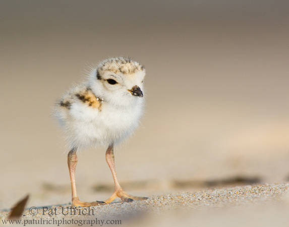 Piping plover chick close-up at Sandy Point State Reservation, Massachusetts