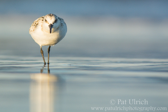 Sanderling on smooth sand in Parker River NWR