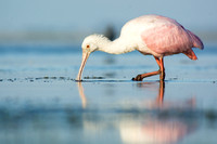 Feeding spoonbill in profile
