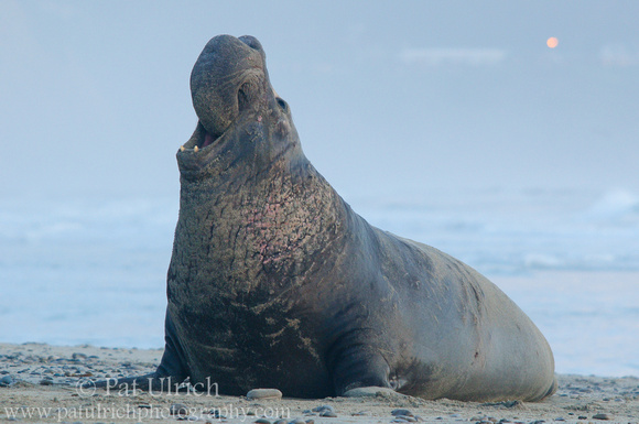 Photograph of a bull elephant seal under an overcast sunset at Año Nuevo State Reserve