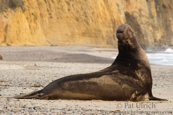 A bull elephant seal bends backward