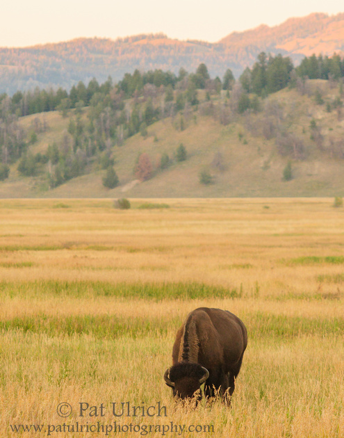 Photograph of a bison on the prairie at sunset in Grand Teton National Park