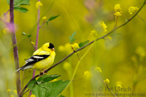 A male goldfinch perched on yellow wildflowers