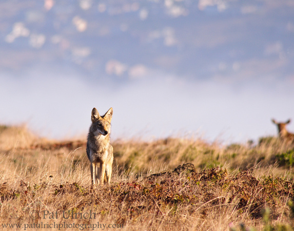 Coyote on Tomales Point in Point Reyes National Seashore