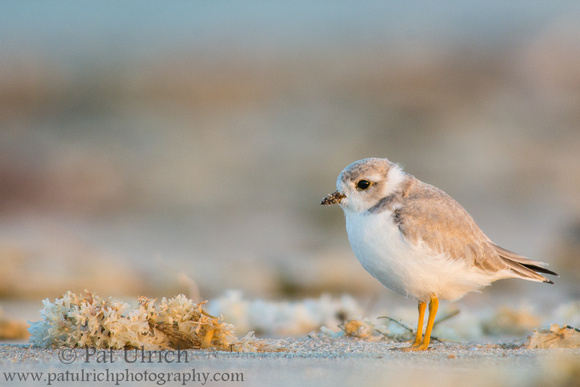 Piping plover and seaweed