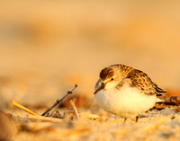 Fluffled up sandpiper at sunset